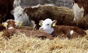 Syksyllä lehmät tuodaan pihattonavettoihin ja vasikat vieroitetaan emoista