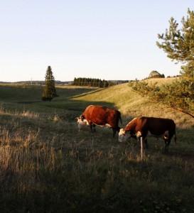 Laumassa on mukana sonni, joka varmistaa lehmien tiinehtymisen