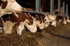 Karjaa ruokitaan kotimaisella rehulla